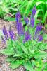 Salvia molida